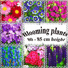 Perennial and annual blooming plants 80 - 85 cm or 32