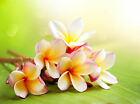 Plumeria Type Soap / Candle Making Fragrance Oil 1-16 Ounce **FREE SHIPPING**