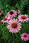 BULK BUY 3000 ECHINACEA PURPUREA CONEFLOWER SEEDS