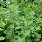 Seeds for Sweet Marjoram - (Origanum majorana)