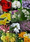 50ml Fragrance Oil FLORA Scent Concentrate for Cosmetics,Soap,Candles,Bath Bombs