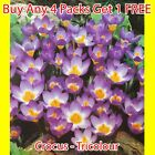 Tri Colour Speices Crocus Corms Purple And White Crocus Bulb