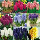 50/100PCS Colorful Hyacinth Flower Seeds Bulb Plants Seed Home Garden VILR 01