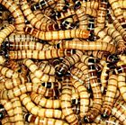 Live Large Superworms(2 inches) 100 to 500 - Free Shipping