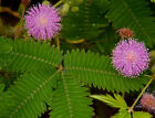 Mimosa pudica (Sensitive Plant) - Select Quantity: 30 to 10,000 Fresh Seeds