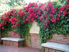 Fire Red Climbing Rose Bush 20 or 100 Seeds~Rare-Free Shipping-USA Seller