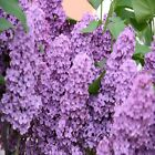 Внешний вид - Lilac Fragrance Oil Candle/Soap Making Supplies **Free Shipping **
