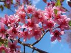 Prunus Cerasoides Puddum 20 50 100 300 Seeds,  Wild Himalayan Cherry Tree,  Bonsai