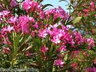 Nerium Oleander Hot Pink 15 or 30 seeds, Small Hardy Tropical Tree or Shrub