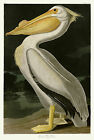No. 311 White Pelican John James Audubon Double Elephant Fine Art Print Giclee