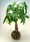 Money Tree Kokedama | Bonsai | String Garden | House Plant | Japanese | Moss