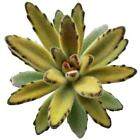 Kalanchoe Tomentosa Chocolate Soldier Succulent Panda Plant Brown (2'' or 4'')