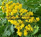 Cassia spectabilis Tree seeds Tropical Plant Easy Fast Grower Yellow Blooms