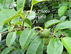 Annona glabra Pond Apple Seeds Yellow Fragrant Flowers Tropical Gardening