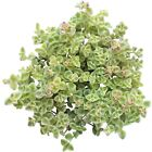 Sedum Little Missy Ground Cover Long Strand Trailing Succulent (2'' or 4'')