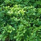 Best Pachysandra Terminalis Japanese Spurge Bare Root Plants - Highly Invasive
