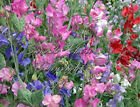 Sweet Pea Royal Mix Seeds Bright Rainbow Flowers Attracts Butterflies