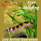 3/5/10X Kuhli Loach Beginner Aquarium Koi Kompanion Free Shipping
