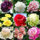 10 pcs Rare Double Pivoine Graines Paeonia Suffruticosa Graines De Fleurs IS