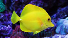Kyпить Yellow Tang (Zebrasoma Flavescens) на еВаy.соm