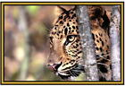 Cheetah  Photographs  - New - Fridge magnets