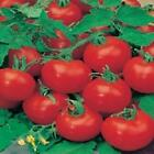 TOMATO F1 SHIRLEY GREENHOUSE CROPS 10 to 100 seed MULTIPLE LISTING F POST