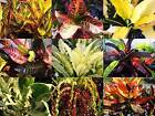 Tropical Croton Plant Great Fall Color Outdoor or Houseplant 9 Types 4 Inch Pot