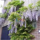 20/40Pcs Flower Fragrant Seeds Fragrant High Quality Purple Wisteria Vine Tree