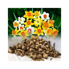1-100 MIXED DAFFODIL/NARCISSUS BULBS FROM OUR BEST VARIETIES GREAT VALUE SPRING