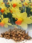 1-100 FORTUNE LARGE-CUPPED DAFFODIL BULBS YELLOW/ORANGE HARDY SPRING PERENNIAL
