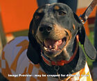 UT Tennessee Vols Smokey Mascot Bluetick Coonhound Photo Volunteers 1125 8x10+