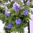 BLUE JACARANDA MIMOSIFOLIA tropical 10, 50, 100, 500, 1000 seeds choice listing