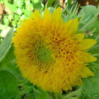Sunflower Teddy Bear dwarf multi-petaled 15, 75, 150 seeds choice listing