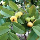 GUAVA PSIDIUM GUAJAVA 15, 75, 150, 750, 1500 seeds choice listing