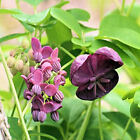 CHOCOLATE VINE AKEBIA TRIFOLIATA 10, 50, 100, 500, 1000 seeds choice listing