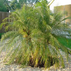 PHOENIX ROEBELENII PYGMY DATE PALM 10, 50, 100, 500, 1000 seeds choice listing