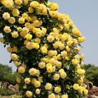 YELLOW CLIMBING ROSE trellis garden arbor decor 20, 200 or 2000 seeds