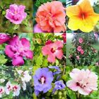 WHOLESALE BULK HIBISCUS SYRIACUS ROSE OF SHARON mix 10, 100 or 1000 seeds