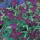 Nicotiana sanderae,  purple Tobacco 100+ /  1,000+ or 10,000+ seeds