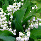 20Pcs Lily of the Valley Flowers Seeds Convallaria Majalis Seeds Wedding Decor
