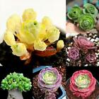 100pcs The Mountain Rose Aeonium Greenovia Seeds Succulent Plant Flowers DZ88 05