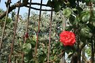 Venice, Italy Garden with Blooming Rose on Gate - Photo Poster Print