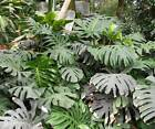 Monstera Deliciosa - 10 Seeds - Swiss Cheese Plant - Houseplant
