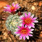 DESERT BARREL CACTUS PINK FLOWER  COASTERS  SETS U PICK SET SIZE