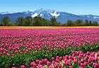 New Tulips Pink Perfection Giant Wall Mural
