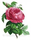 Pink Cabbage Rose Quilt Block Multi Size FrEE ShiPPinG WoRld WiDE (R20