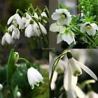 New Adorable Flower Fragrant Seeds Blooms Lily of the Valley Seeds EHE8