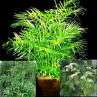 BAMBOO PALM 3 different varieties 10, 50, 100, 500, 1000 seeds choice listing