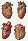 ML16 Vintage 1800's Medical Human Heart Surgical Poster Re-Print A2/A3/A4