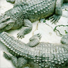 Poster / Leinwandbild Two alligators - Yasushi Okano